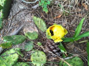 prickly-pear-03